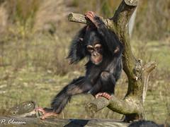Chimpanzee (pclaesen) Tags: pantroglodytes chimpansee monkey aap ape primaat primate zoo dierentuin beeksebergen sonyhx300 wildlife zoophotography animal animals animalphotography nederland netherlands holland brabant hilvarenbeek chimpanzee animalkingdom planetoftheapes ngc