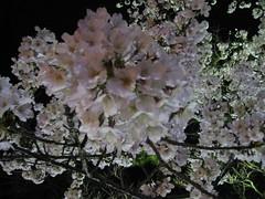 栗林公園夜桜
