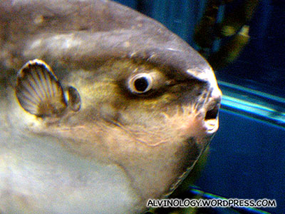 The sun fish has a very silly-looking face