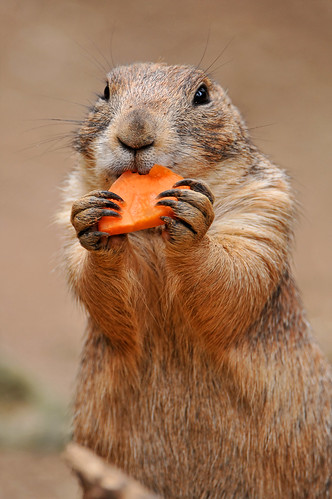 フリー画像| 動物写真| 哺乳類| 小動物| リス科| プレリードッグ|      フリー素材|