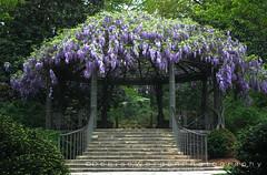 Pergola with Wisteria Blooms (Denise Worden) Tags: flowers color canon nc spring durham purple duke denise wisteria dukegardens pergola xsi worden 450d deniseworden