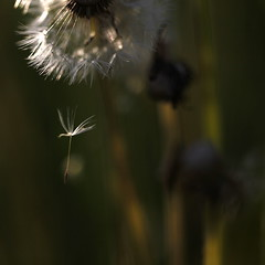 adrift (jenny downing) Tags: light blur france macro nature closeup spring blurry weed bokeh meadow fluffy blurred dandelion seeds seedhead sunlit delicate fleeting springtime lifecycles pissenlit infrance heretodaygonetomorrow heretoday wetthebed jennypics gonetomorrow takeninfrance takeninspring jennydowning soocapartfromacrop gettyimagesfranceq2 gettyfrancesummer photobyjennydowning ©jennydowning2011