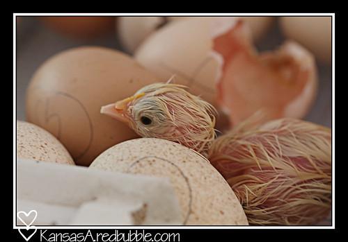 1st chick! by KansasA