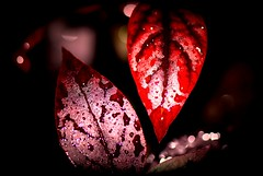Together Forever....Come Rain Or Shine...Till Death Do Us Part!!!... My 21st Explore!!! (endoking) Tags: red macro leaves rain closeup garden together winner soe naturesfinest artisticexpression mywinners abigfave naturesgift shieldofexcellence impressedbeauty flikrsbest macromix theperfectphotographeraward