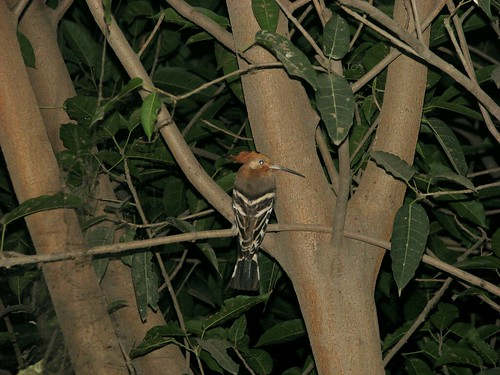 Hoopoe in a tree