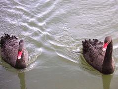 Black Swans on Greenland Dock