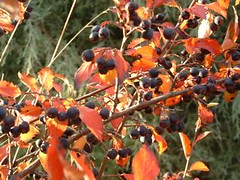 Autumn Berries (madriverrose) Tags: cassidy patricia bestnaturetnc06