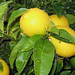 Meyer Lemon - Photo (c) badthings, some rights reserved (CC BY-NC-ND)