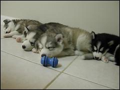 Husky Puppies (Scott Kinmartin) Tags: sleeping dog puppy puppies siberianhusky huskypuppies