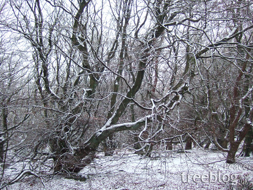 snow-covered beech