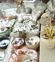 poor frozen succulents