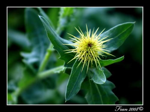 Flor espinosa