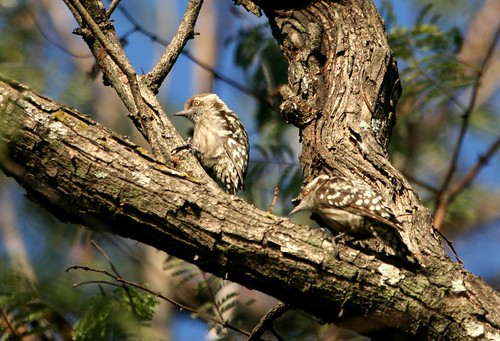 Brown Capped Pgymy Woodpecker-Pair