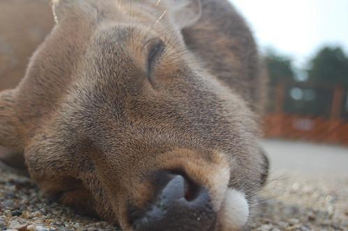 ciervo durmiendo
