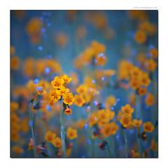 In my dreams (Tomas Kaspar) Tags: flowers color detail macro up close karmapotd karmapotw