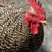 closeup chicken