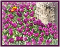 Two Friends In the Crowd (Kuzeytac) Tags: flower color colour macro green nature yellow turkey geotagged spring purple türkiye turkiye istanbul tulip makro geotag mor leyla hayat bahar çiçek yeşil sarı lsi lale gulhane portakal doğa tabiat hpphotosmartm425 kuzeytac copyrightedallrightsreserved aqualityonlyclub ✿beautiflower✿