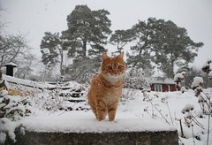 Winter wonderland Bill (Miss Claeson) Tags: winter snow cold cat easter nikon sweden snowstorm snowing gingercat dalar nikond80