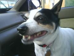 Dexer likes car rides