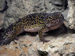 Eublepharis macularius (Puckyireth) Tags: barcelona macro animal zoo leopardo gecko lagarto reptil salamanquesa reptilia naturesfinest eublepharis macularius llargandaix macrofoted mònicautjés