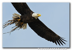 Bald Eagle With Nest Material - Blackwater National Wildlife Refuge, MD (Nikographer [Jon]) Tags: bird grass birds animal animals lenstagged md nikon eagle wildlife baldeagle bald maryland jim easternshore help national wetlands april marsh nikkor blackwater 2008 haliaeetusleucocephalus apr refuge nationalwildliferefuge nwr d300 garnite haliaeetus leucocephalus 80400mmf4556dvr nestingmaterial 488rc2 marylandseasternshore wildlifedrive blackwaternationalwildliferefuge bnwr nikond300 20080405d30018526 nestnearpool6 gt2941 jss20081 imagesforblog1 photocontesttnc09