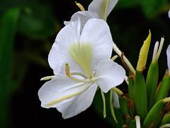 Flor (Pedro Cavalcante) Tags: flowers naturaleza flores flower fleur flora fuji natur flor natuur natura finepix fujifilm blomma bunga  blume fiore blomst bulaklak hoa ua flore bloem lill  iek  kwiat blodyn  naturesfinest lule blom  cvijet  cvet supershot  6500  gl kvtina kvetina  s6500 pue  s6500fd floarea  fjura  blthanna finepixs6500 finepix6500 goldstaraward pedrocavalcante kukkien virga