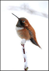 Male Rufous Humming Bird (Protection Island) Tags: bird hummingbird rufus protectionisland rufous selaphorusrufus selaphorus