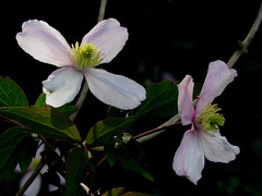 Clematis III (wit) Tags: clematis spring flower macro deleteme deleteme2 deleteme3 deleteme4 deleteme5 deleteme6 deleteme7 deleteme8 deleteme9 deleteme10