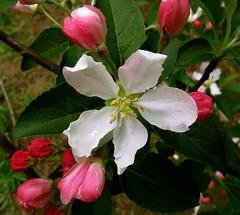 Apple Blossom Time (photoholic1) Tags: pink flower tree whiteflower blossom appleblossom
