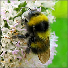 Bumblebee on Teasel (Batikart) Tags: travel summer white plant flower macro green nature animal yellow closeup fauna canon germany insect square geotagged ilovenature deutschland flora europa europe stuttgart blossom sommer natur pflanze meadow wiese bumblebee gelb teasel grn blume makro 2008 blte insekt weiss tier hummel a610 naturelovers badenwrttemberg swabian dipsacusfullonum hohenheim canonpowershota610 wildekarde dipsacaceae 10faves calenduleae specanimal bombuslucorum viewonblack anawesomeshot batikart platinumheartaward spectacularmacro