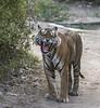 Ranthambhore, Rajastan, May, 2013 (Koshyk) Tags: tiger ranthambhore 2013 maletigerranthamchore rajasthan