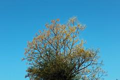 Melia azedarach - Drakenbergen - Zuid-Afrika 3 (Ruud de Block) Tags: southafrica ruuddeblock meliaceae taxonomy:binominal=meliaazedarach meliaazedarach