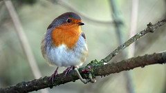 Bob Bobbin' Along (Mark BJ) Tags: daisynook countrypark europeanrobin robin erithacusrubecula uk manchester oldham failsworth tree branch redbreast hollinwoodcanal feathers beak bud