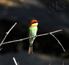 chestnut headed bee-eater (saravanan gk) Tags: munnartrip chinnar chestnutheadedbeeeater