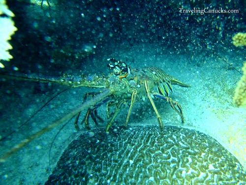 Rock Lobster - Laughing Bird Caye, Belize
