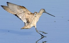 Marbeled Godwit (Deby Dixon) Tags: california reflection bird fall nature water nikon wildlife flight landing explore deby avian allrightsreserved 2010 marbledgodwit shorebird godwit naturephotographer debydixon debydixonphotography