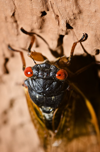 Eye to eye to eye with the dreaded locust - Nikon D7K