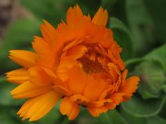 Bois de Vincennes 09.06.11 031 (MUMU.09) Tags: orange flores flower de photo foto flor petal da orangeflower  bild blume fiore  virg imagem  petalo  kwiat  flori ptalos  bltenblatt ptala          flordenaranja flordelaranjeira  fleurorange  fiorearancione   orangeblomma  portakaliei         apelsnuziedu narancsvirg  orange naranasticvijet  orangeblm  apelsinied pomaraczowykwiat orannacvet orangemaua  oranovkvtina    orangehoa mumu09