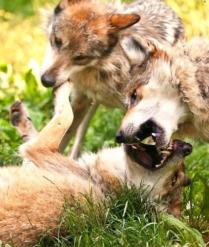 Mexican Wolves playing rough
