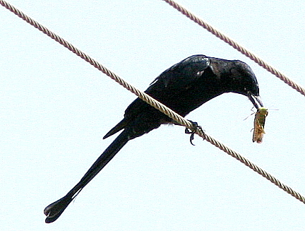 drongo with grasshopper 131007