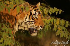 Ranthambhore male tiger 2 (dickysingh) Tags: india outdoor wildlife tiger bigcat aditya predator ranthambore singh damncool bengaltiger ranthambhore dicky tigerreserve wildtiger pantheratigristigris bfgreatesthits adityasingh dickysingh ranthamborebagh theranthambhorebagh