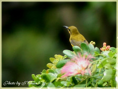 Sunbird 05 (Artistic Creations) Tags: bird nature singapore sunbird