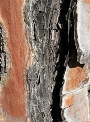 piel muerta (Proyecto Eden) Tags: tronco corteza cicatriz proyectoeden pielmuerta