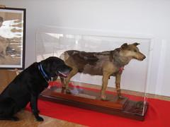 日本の盲導犬第1号チトセ号