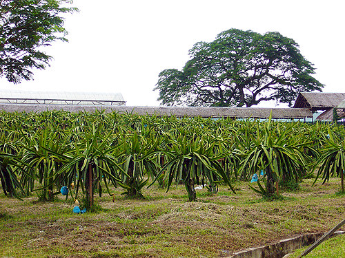 dragonfruit plantation