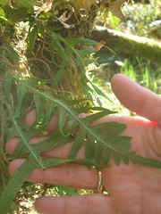 SPORES FOR RIZZLE (samnew) Tags: ferns spores
