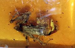 2 frog in amber Chiapas 25mya