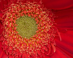 Gerbera (suraark) Tags: flower macro gerbera naturesfinest anawesomeshot diamondclassphotographer