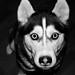 スルツェイ島:My friend´s dog Surtsey