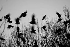 Winter flights (Shapour_3) Tags: trees winter bird birds flight esfahan isfahan shapour